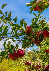 """"""" Harvest Time"""" - Big B's"""" Orchard -2839 (Photographer / Artist) Tags: co usa paoinacolorado harvest apples fruit fall 2016 nature writers poets novels"""