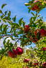 """ Harvest Time"" - Big B's"" Orchard -2839 (Photographer / Artist) Tags: co usa paoinacolorado harvest apples fruit fall 2016 nature writers poets novels"