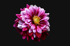 Mad blooming (tsuping.liu) Tags: outdoor organicpatttern plant photoborder perspective petal passion pattern photographt flower blackbackground nature natureselegantshots naturesfinest flowers lighting