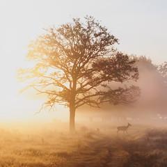 Majestic (Ida H) Tags: deer animal wildlife wild nature tree park morning golden goldenhour goldenlight gold mist misty foggy sunshine sunrise magical magicallight magichour glowing silhouette silhouettes silhouettesinthefog landscape england nikon
