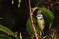 Bluetit on the fringe (david.england18) Tags: bluetit smallbirds various tits blue coal great birdsuk queensparkheywood canon7d canonef300mmf4lisusm robins nuthatches