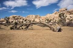 The Tree Arch (Hrvoje Simich - gaZZda) Tags: sky clouds arch stone mountain blue white sand yellow joshuatree nationalpark california usa nikon nikond750 nikkor283003556 gazzda hrvojesimich