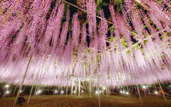 Wisteria Curtain (@Mahalarp) Tags: fuji japan ashikaga flower fujifilm fujifilmxseries park spring tochigi wisteria xt1 ashikagashi tochigiken jp