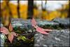 Fall in Virginia (Nikographer [Jon]) Tags: snp fall foliage stonewall redleaves red nikon 20161022d4230930 d4 nikond4 shenandoahnationalpark virginia va nikographer