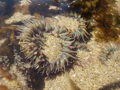Pink-Tipped Anemone (Zadok Photo) Tags: pinktippedanemone seaanemone pinktipped anemone sand water ocean seaweed