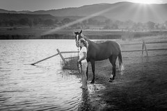 Marianne and Starbuck -- b&w (andy_8357) Tags: sony a6000 6000 ilce6000 ilcenex nex mirrorless sel1650 1650mm wideangle wide angle marianne starbuck horse companion animal friend late afternoon sunset beautiful light sun star valley water lake fence woman emount e mount pz devotion love simple emotion back lighting backlighting backlit hills mountains foothills boulder colorado blanco y negro blanc noir selp1650 alpha atmospheric mood nature tranquil peaceful moment trees sunbeam sunbeams