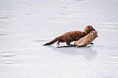 Mink (no monkey) (brev99) Tags: mink viewnx2 dxooptics8 cacorrection tamron28300xrdiif d90 winter ice pond prey muskrat saturatedslidefilmeffect perfecteffects10 anon ngc highqualityanimals