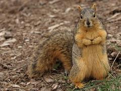 Squirrel, Morton Arboretum. 378 (EOS) (Mega-Magpie) Tags: canon eos 60d nature wildlife cute squirrel the morton arboretum lisle dupage il illinois usa america