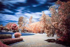 Infrared2016-Oct -DSC05400-Edit1-1.jpg (countchristo) Tags: trees infrared captureone sonya300 tiff fauxcolour ir720 ir fauxcolourir