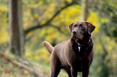 woodland walk (mulligan.janice) Tags: dog chocolate labrador woodland leaves autumn walk forest yellow