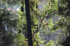 Tualatin Hills Nature Park, Beaverton, OR US (nikname) Tags: tualatinhillsnaturepark urbanparks urbanforest oregon oregonusa trees autumnforest