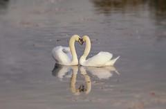 Love (Jeannie Debs) Tags: birds swan love heart romance