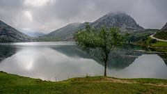 Solitude (TanzPanorama) Tags: europe europa picosdeeuropa spain travel nature nationalgeographic ng lake reflection reservoir naturereserve sonya7ii fe1635mmf4zaoss sel1635z tanzpanorama lakesofcovadonga lagodeenol lago mist cloud tree lonetree solitude explore
