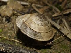 Trochoidea elegans (fturmog) Tags: fauna molluscos moluscos cargols caracoles snails montoliudelleida