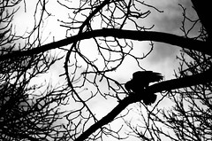 Raven having a snack. (Jan Elger) Tags: raven crow bird atumn fall winter snack brenches tree trees backlight contrast sky clouds scary spooky pentax pentaxk50 k50 50mm nature animal vienna wien austria