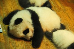 Baby Panda . (john a d willis) Tags: china chengdu pandaresearch babypanda giantpanda cuddly