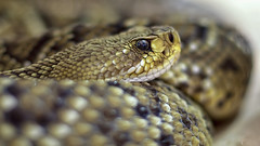 Rattlesnake (michel1276) Tags: schlange snake reptil reptile tier animal
