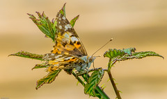 Holme reserve painted lady (shawbrigid) Tags: holme butterfly paintedlady