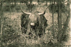 Bull (Joop Nijhof) Tags: bull nature black white cow forest sonyflickraward greatphotographers