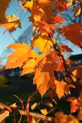SAM_1848 (falcon170ct) Tags: autumn fall leaves redoak