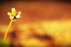 Positive (PureClicks) Tags: flower wildflower soloflower macro macroflower pureclicks dop depthoffield garden gardenwalk white 50mmlens canon canon600d