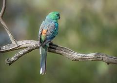 Red-rumped Parrot-1 (BlueberryAsh) Tags: yanyeanreservoir birds redrumpedparrot maleparrot australianbird parrot nikond750 tamron150600