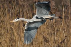Graureiher 044 (bertheeb) Tags: graureiher reiher wasservogel