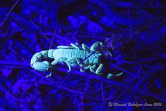 IMG_2631 (Manuel Balcázar Lara) Tags: buthidae scorpion scorpiones centruroides mexico chamela jalisco