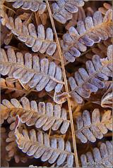 Frost on Fern (Earl Reinink) Tags: park provincialpark earl reinink earlreinink naturephotography nikon nikond5 fern azadzdaara frost