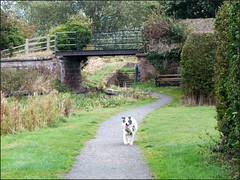 Newport Shropshire canal 111011old photos Liz Callan (11) (LIZ CALLAN) Tags: newport shropshire canal dog bordercollie grass water swans cygnets bridges paths waterlilies lizcallan lizcallanphotograph lizcallanphotography trees outside landscape