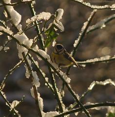 Tervuren.Belgium (Natali Antonovich) Tags: tervuren belgium belgie belgique winter snow frost nature park birds christmasholidays christmas parallels greattitmouse