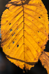Beech Leaf In Autumn (natures-pencil) Tags: leaf beech autumn gold colourful ribs veins sunlight macro shallowdof