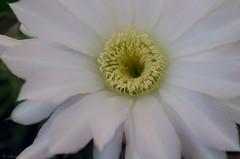 Flor de Cactus (celesblur) Tags: flores flor flowers close up macro nature naturaleza cactus nikon d5100
