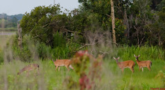 Deer Quad-187 (VinceFL) Tags: wildlife floridawildlife manfrottotripod outdoorflorida tamronaf70300mmf456dildmacrolens vinceflnikond7000orlandofloridavincelopresti whitetaildeerflorida