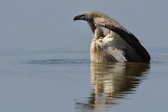Wading...... (Duncan Blackburn) Tags: bird nature nikon wildlife ngc vulture namibia etosha coth supershot avianexcellence coth5 sunrays5