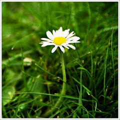 I Wish. (Free 2 Be) Tags: new flower grass one flickr fresh daisy wish 2013 singlealone afsdxvrzoomnikkor18200mmf3556gifedii 113picturesin2013 113in2013