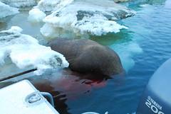 Walrus Hunt 8_5_13 1 287 (efusco) Tags: ocean sea ice alaska native arctic butcher hunter beaufort walrus hunt midnightsun iceburg floe inupiat inupiaq aivik femalewalrushunt85131