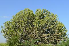 Flowering bromeliad or cactus or ? (10b travelling / Carsten ten Brink) Tags: cactus plant flora asia asien southeastasia burma myanmar asie bromeliad southeast birma bagan indochine birmanie 2011 ビルマ iptcbasic