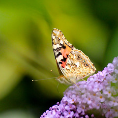 Painted Lady (zanypurr) Tags: butterfly buddleia august paintedlady