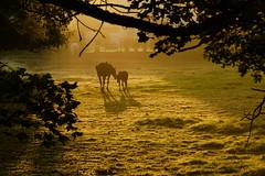 DSC00261 - Horse & foal (steve R J) Tags: horse sunlight landscape explore british foal navestock