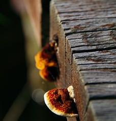 another mushroom (DaLi-A) Tags: wood mushroom pentax bokeh holz brandenburg pilz k30 pentaxlife groszerlang kleinerplitzsee