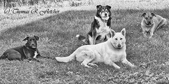 The Posse (travelphotographer2003) Tags: blackandwhite usa dog pet white green love ecology female four scary solitude farm tan compassion rottweiler security westvirginia serenity boxer aggressive germanshepherd bestfriend protection alsatian mixedbreed isolated posse amputee wolfhound threelegs guarddog rescuedog familyfarm halfbreed webstercounty fourdogs pasturefield americanshepherd alsatianwolfhound puppyandadultdog