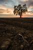 Tree Burst (boingyman.) Tags: sunset tree field landscape farm davis scape sunstar boingyman