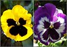 Floral Faces .. (** Janets Photos **) Tags: uk flowers floral collage colours faces pansies ilikeit welikeit photomemories artonflickr beautifulasalways filmfree eperke lovelyflickr dreamlikephotos takenwithhardwork lovelynewflickr imperialphotography artofimageasmusic opentoallphotographers flickrheartgroup closedgroup