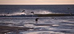 Kira's beach (A child in the night) Tags: blue sea beach true gulls kira bordercollie seabirds