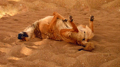 Doggy Style (Francisca A.) Tags: summer dog beach animal relax sleep playa enero perro sleepy verano doggy lover sweetness perrito reaca 2014 doglover