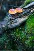 Little Mushrooms (keithbcg) Tags: newzealand fungus waikato tokaanu taxonomy:kingdom=fungi taxonomy:domain=eukaryota