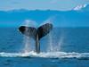 一隻用尾巴拍打海面的座頭鯨。 (mksbcphoto) Tags: 海洋 範例 野生生物
