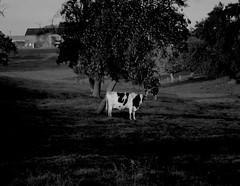 Kuhvadis (ReinerStockhausen) Tags: kuh cow wiese landschaft belgien