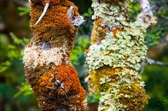 Moss-covered Treetrunks (medXtreme) Tags: moss australia moose unescoworldheritagesite tasmania australien tassie tasmanien unescowelterbe tasmanianwildernessworldheritagearea commonwealthofaustralia unescoweltkulturerbe cradlemountainlakestclairnationalpark vandiemensland unescowelterbestätte moospflanzenbryophyta australienkontinent lutriwita tasmanischewildnis